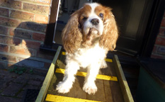 charlie the cavalier dog high vis non slip decking strip ramp